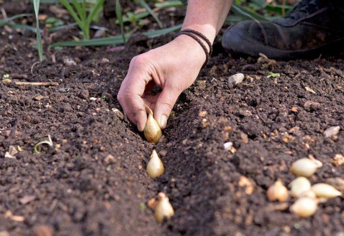 как правильно посадить лук под зиму