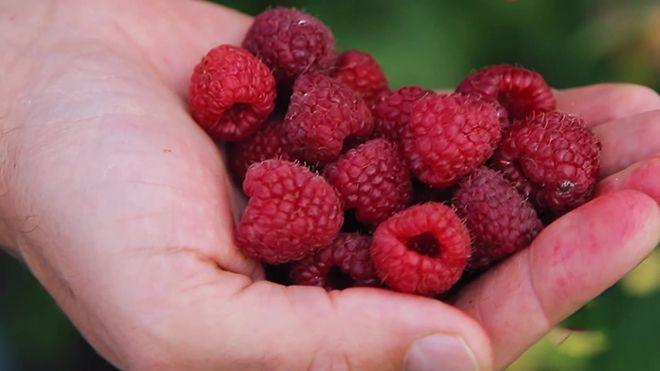 Уход и выращивание малины в домашних условиях