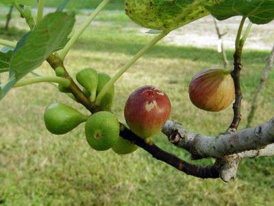 инжир в ростовской области выращивание