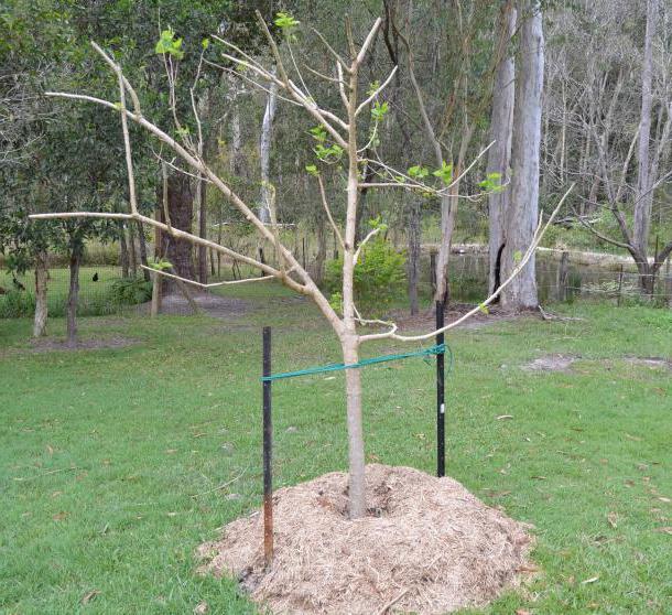 Правила и сроки пересадки яблони осенью на новое место