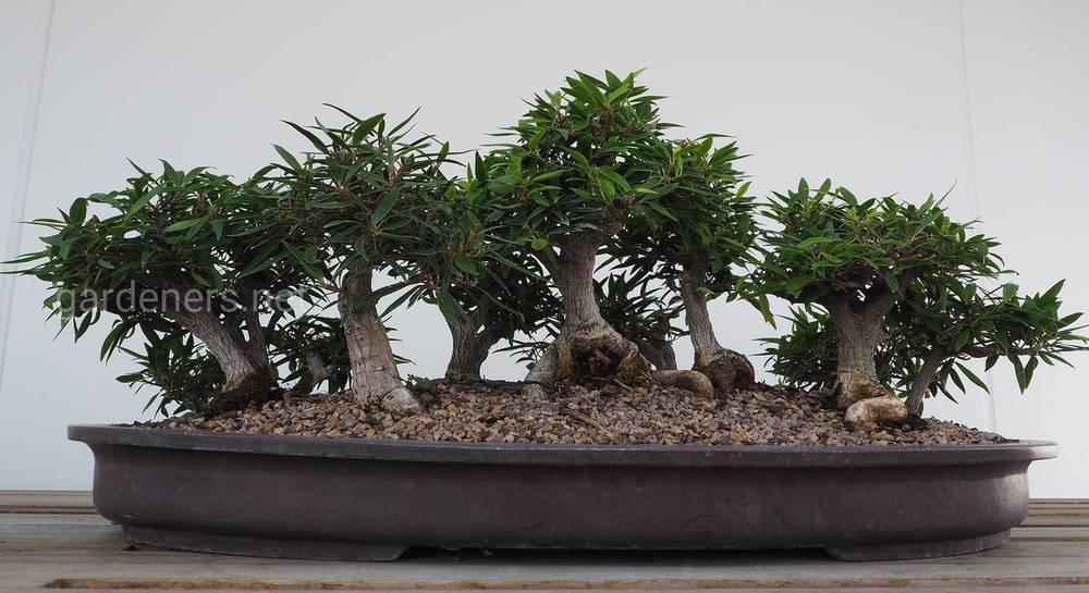 Как выращивать деревья бонсай в домашних условиях: правила выращивания и виды