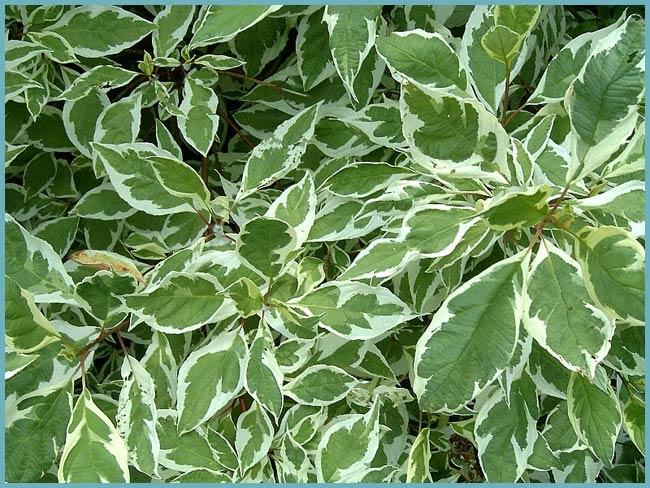 Кустарник дерен белый сибирика: посадка и уход в саду, размножение в открытом грунте