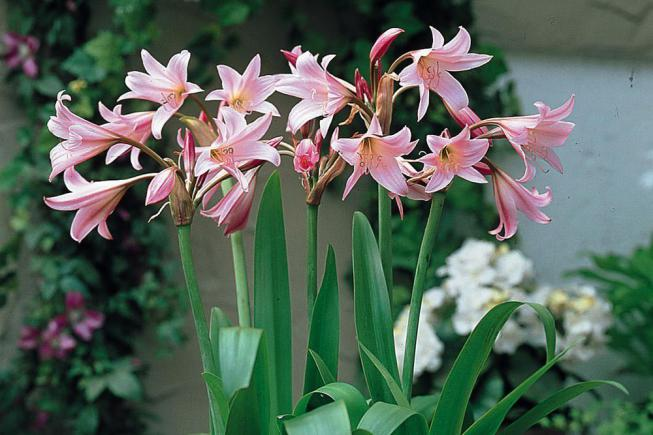 Популярные и редкие луковичные цветы: для сада многолетние или домашние