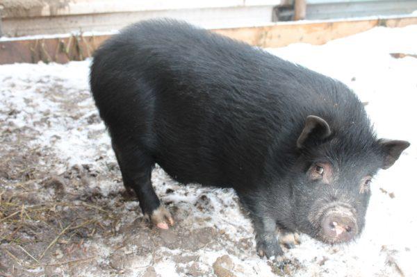 Как размножается вьетнамская вислобрюхая свинья