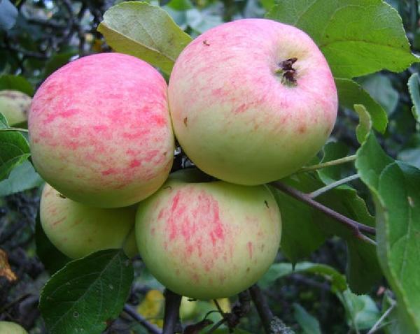 Описание сорта яблони каштель: фото яблок, важные характеристики, урожайность с дерева