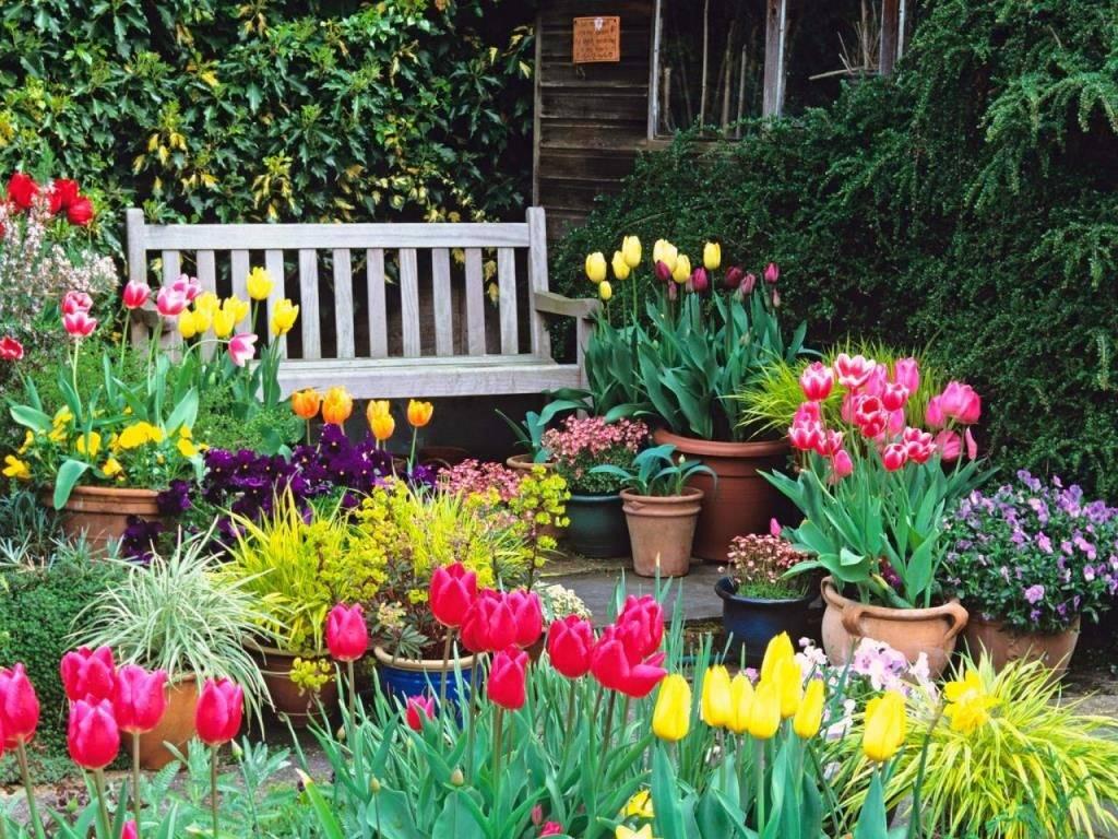 Тюльпаны, выращивание и уход в открытом грунте
