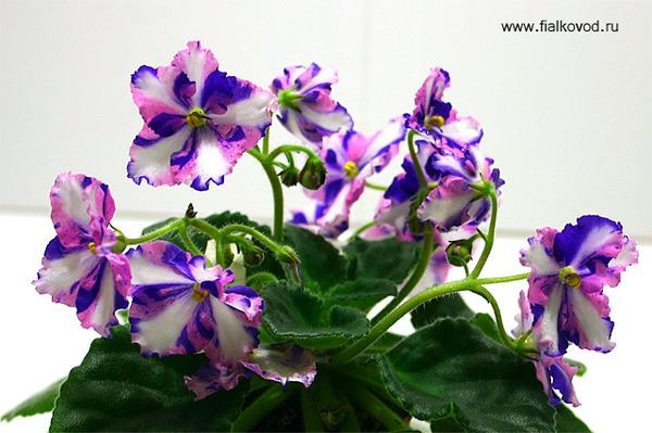 Фиалка лесная - фото высокого разрешения, картинки и названия, описание сортов дикорастущей и пл лесной сенполии, также представлены полезные свойства белых цветов и расписано, как и когда они цветут
