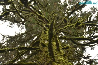 Самшит: посадка и уход в открытом грунте, виды и сорта самшита с названиями