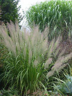 Злаки и декоративные злаковые растения: виды, сорта, использование в ландшафтном дизайне