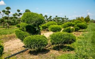Садовый бонсай (ниваки) своими руками на примере сосны