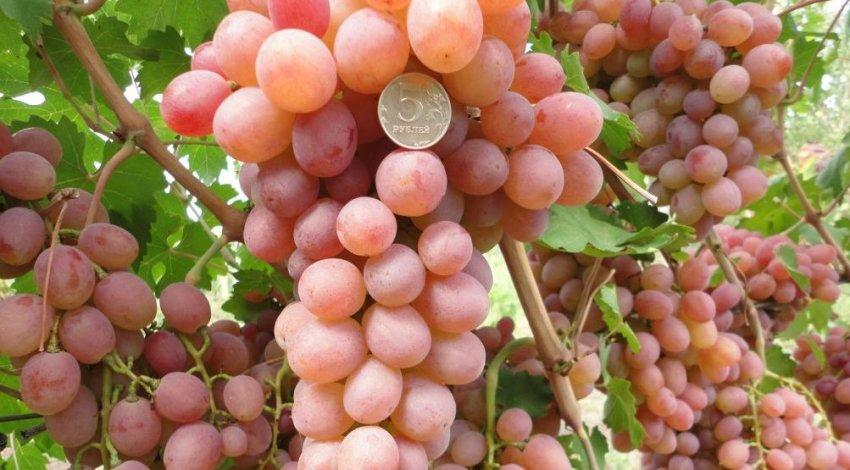 Столовые, технические, мягкосемянные сорта винограда селекции красохиной