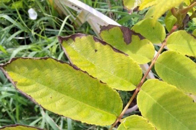 Маньчжурский орех: описание, посадка и уход, выращивание