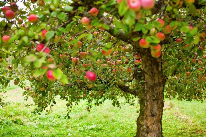 Осенняя подкормка яблони в зиму: чем и как удобрять, какие удобрения вносить – сад и огород своими руками