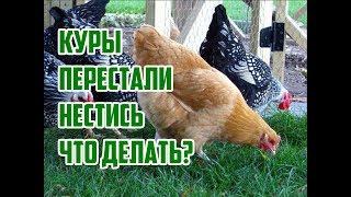 Почему курицы не несутся? что делать, когда несушки одновременно перестают нести яйца? в чем причина? нужен ли петух для повышения яйценоскости?