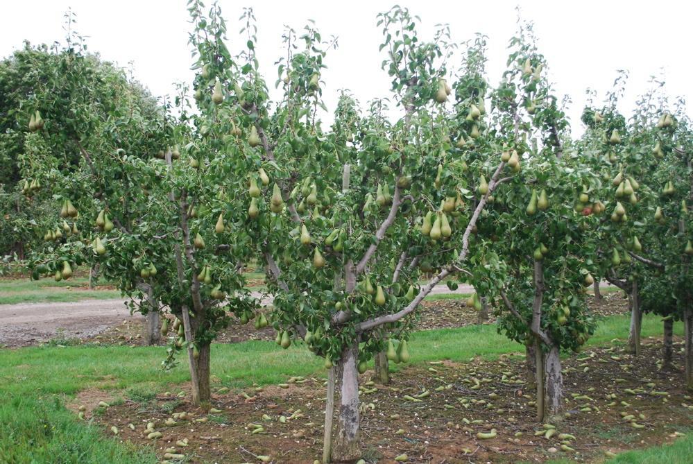 На каком расстоянии сажать яблони друг от друга - про сорта