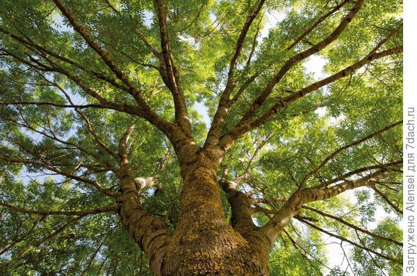 дерево ясень картинки