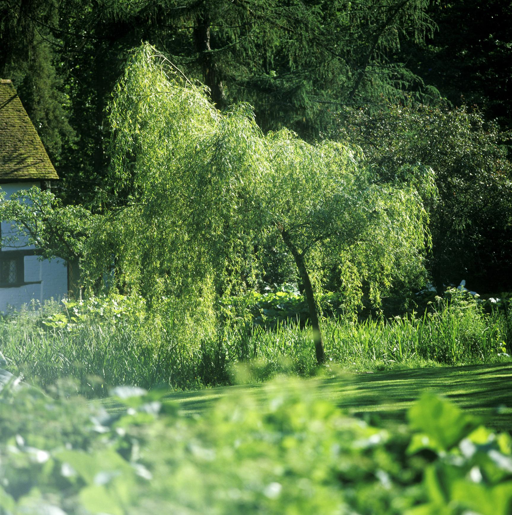 Как вырастить белую плакучую иву на дачном участке