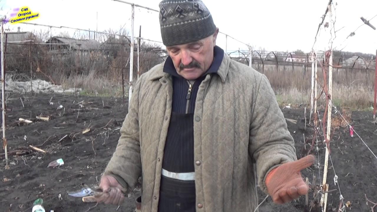 укрытие винограда на зиму в белоруссии