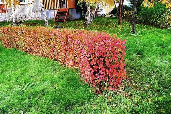 Растение кизильник: фото, описание видов, видео ухода, выращивания и размножения кустарника кизильник