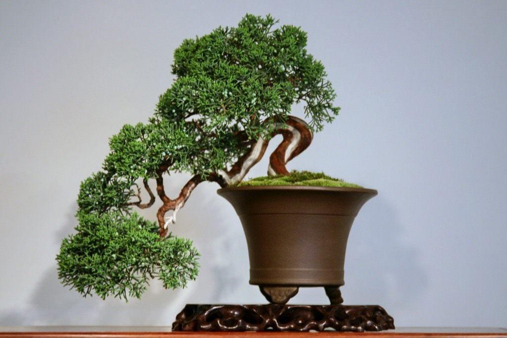 Японская вишня: посадка, выращивание и уход за деревом в домашних условиях. характеристики, сорта, 110 фото и видео