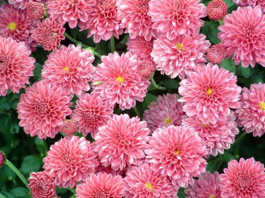 корейская хризантема зимующая