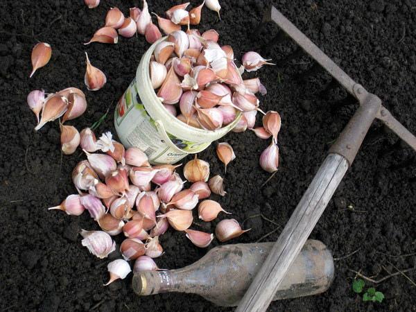 Чем укрыть чеснок на зиму и нужно ли это делать: подготовка растения к морозам, утепление грядок опилками, агроволокном