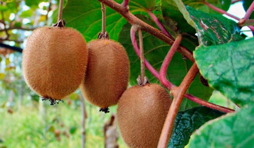 Все секреты актинидии: виды, сорта и особенности выращивания для разных регионов