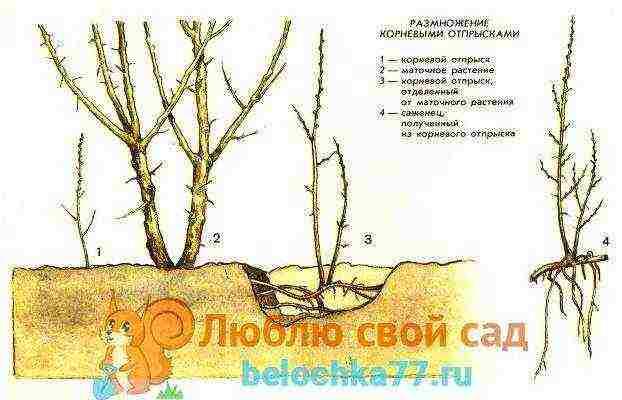 Облепиха: выращивание и уход,обрезка, в том числе весной, борьба с болезнями и вредителями, описание видов растения