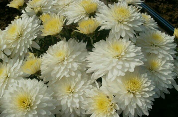 Хризантема садовая: посадка и уход, многолетние сорта +75 фото