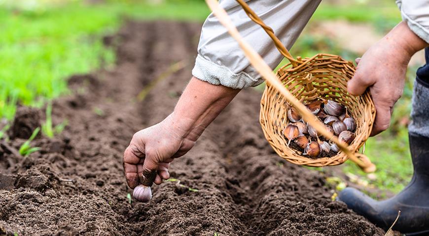 """Как подготовить почву осенью для посадки зимнего чеснока? - журнал """"совхозик"""""""