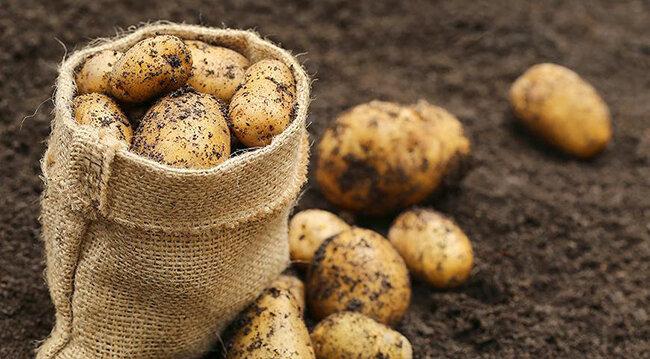 Способы и условия хранения картофеля зимой: в погребе и подвале, в квартире (на балконе)