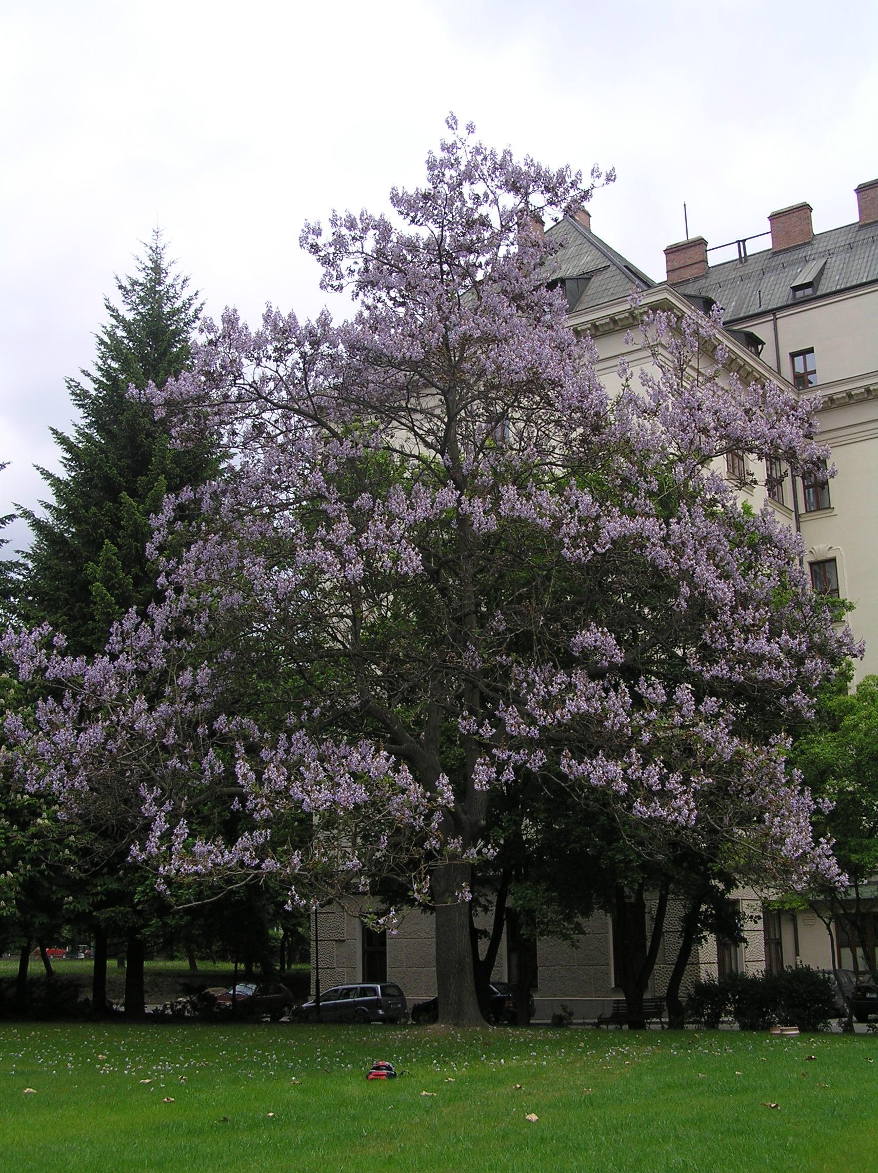 адамово дерево