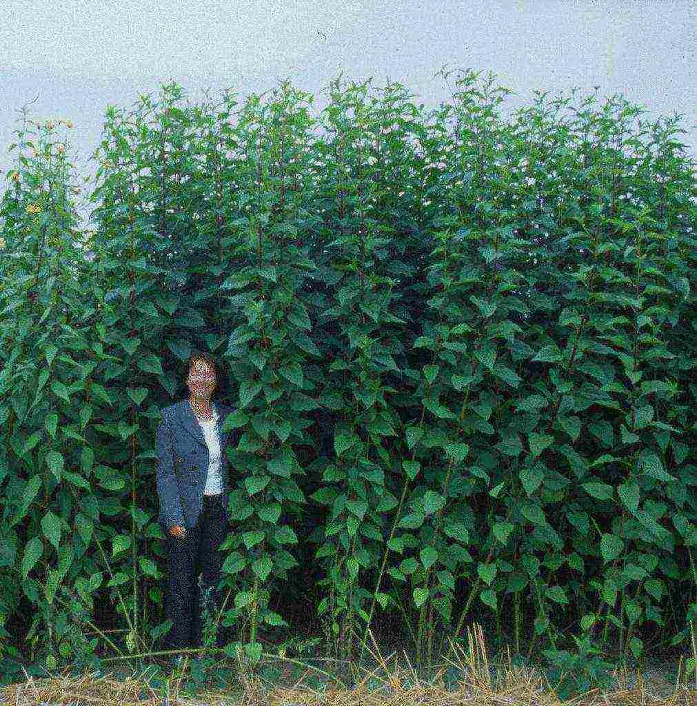 Топинамбур – находка для садоводов