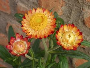Названия, описания и фото сухоцветов - растений, из которых создаются сухие букеты