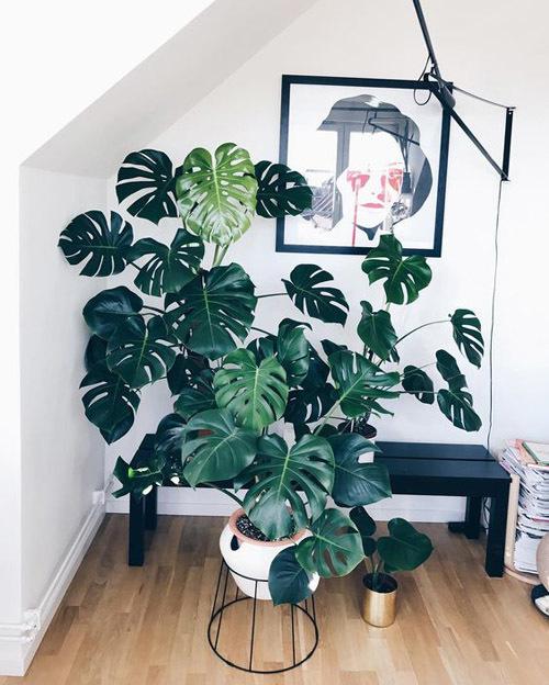 монстера растение