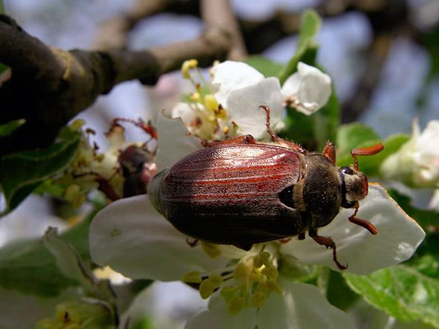 Проверенные способы борьбы с личинками майского жука