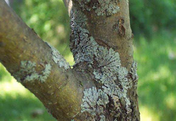 Лишайник на яблоне или мох на стволе, как избавиться?