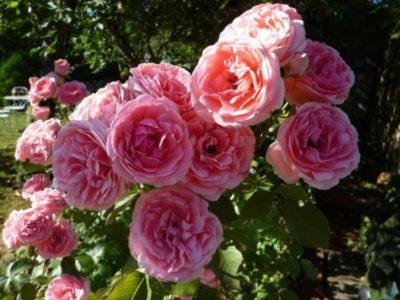 Роза поэзия: читаем все нюансы