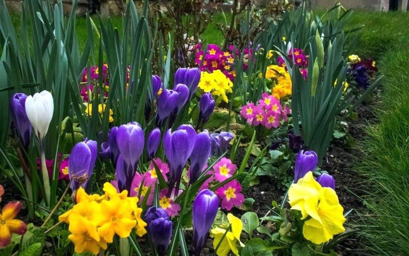 Луковичные цветы для сада: виды и правила выращивания