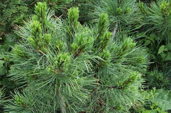 Список хвойных деревьев — фото и названия