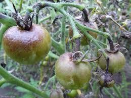 Как бороться с фитофторой на помидорах - чем и когда их обработать