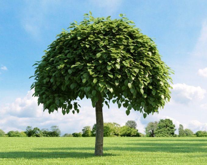 Катальпа: уход, посадка, обрезка и размножение быстрого дерева   огородники