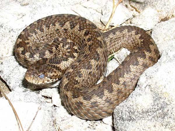 Гадюка никольского: абсолютно черная и ядовитая змея