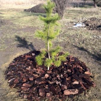 Хвойные растения для сада: выбор места для посадки, какие виды бывают, как ухаживать