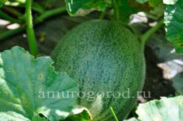 Как вырастить арбуз в домашних условиях— в огороде, в открытом грунте, в теплице
