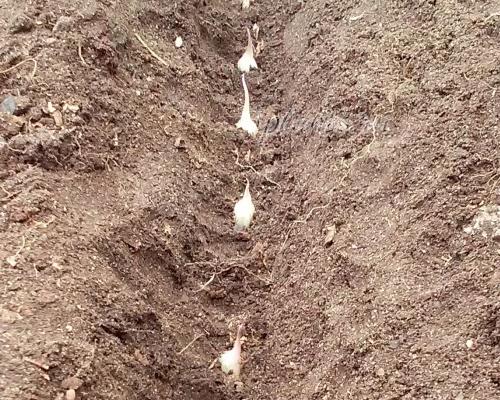 как посадить зимний чеснок осенью