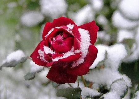 розы на зиму уход в открытом