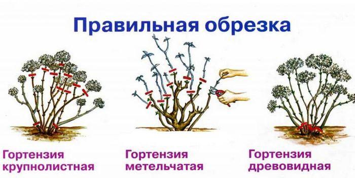 обрезка широколистной гортензии осенью