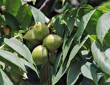 Орех маньчжурский: посадка и уход, свойства, польза и вред | огородники