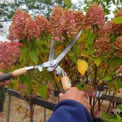 обрезка метельчатой гортензии осенью